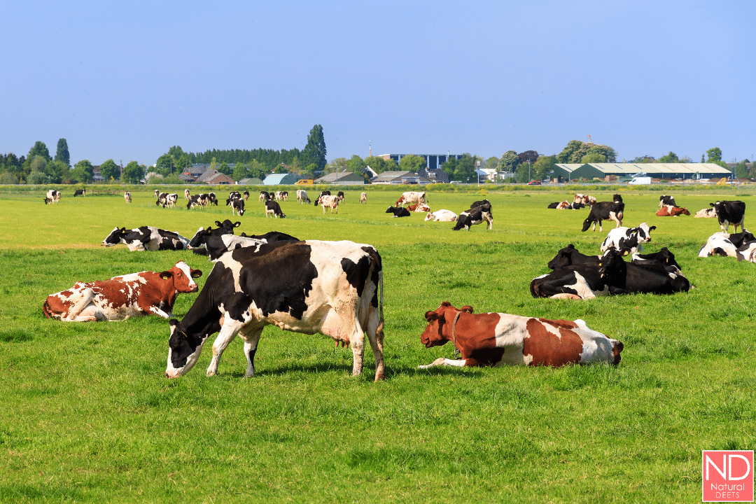 a picture of cows grazing in the grass